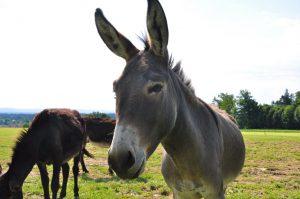 Yanosch, der Freche,ein sehr vielseitiger Esel, der allerdings ganz genau weiß, was er will! !(Besitzer Christian Kunkel)