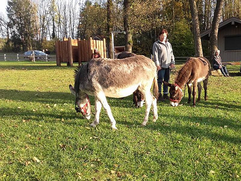 Esel grasen nach dem Spaziergang