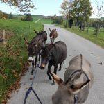 Fünf Esel und ein Mensch