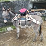 Ferdinand mit Packsattel