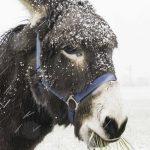 Leopold im Schneetreiben-mit Futterreserve
