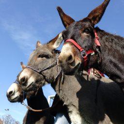 Grundkurs Eselhaltung- für Familien und Erwachsene